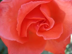 rosa inteira